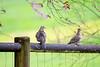 Pigeon Woo