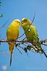 Parakeet Family