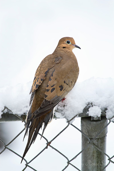 Spring Snow and a Mourning Dove