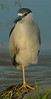 monopod<br /> <br /> Black-crowned Night Heron, South Platte River