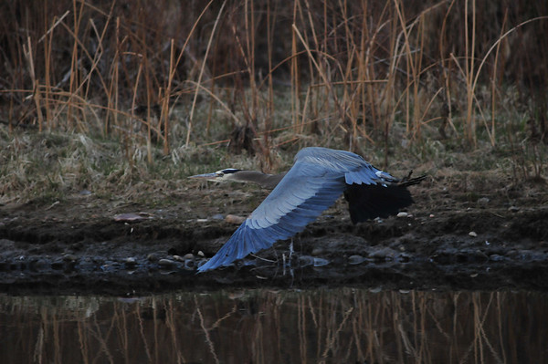 Wow!  He even looks blue!<br /> <br /> Great Blue Heron makes a quick getaway<br /> after his stalker got just a wee bit too close.