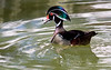 Long-Necked Wood Duck