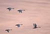 Swans a la Sunset