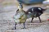I'm a Dork -- I Mean a Duck!