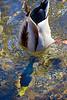Torpedo Duck