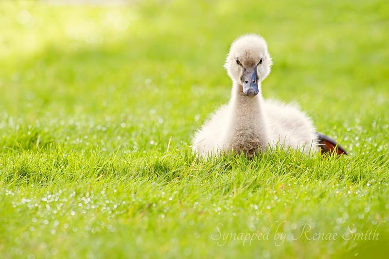 Duck, Duck, Swan!