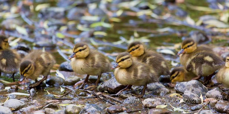 A Strip o' Ducklings