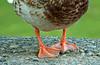 Duck-Toed Webfoot