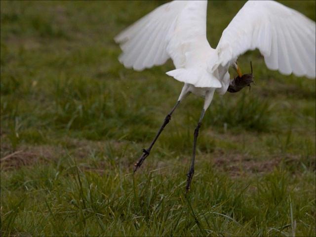 Unworried Egret