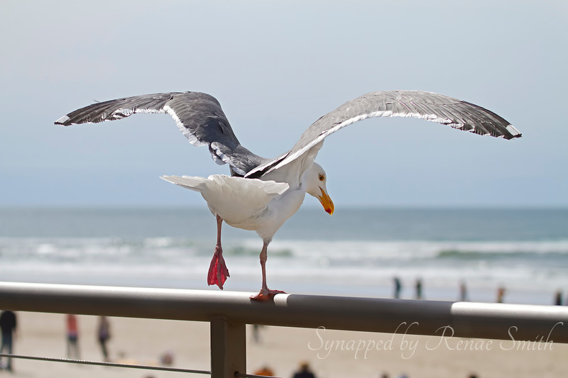 Dance of the Gull