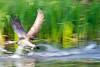 The Gray Geese Are Coming!  The Gray Geese Are Coming!