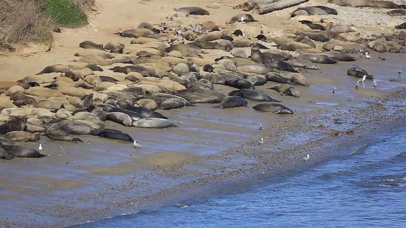 Elephant Seals and babies