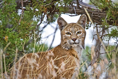 Diamond Mountain bobcat...it almost ran in front of me as I drove off the mountain in late evening, and when it ran back into the junipers it paused long enough for one quick shot out the passenger window.