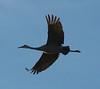 Sandhill Crane, Monte Vista Wildlife Refuge