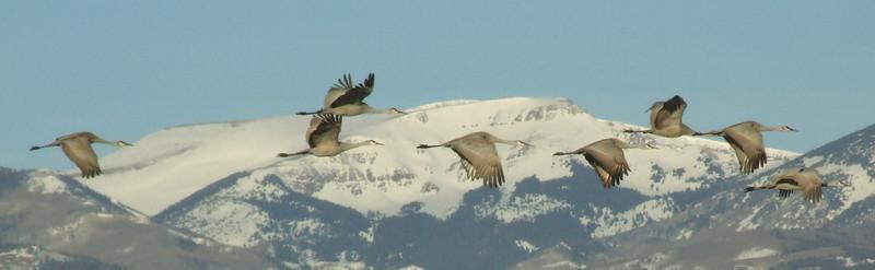 Sandhill Cranes<br /> Monte Vista Wildlife Refuge