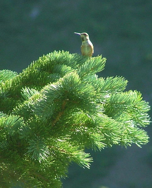Probably a Broad-Tailed Hummingbird<br /> Blue Lakes, Mount Sneffels Wilderness