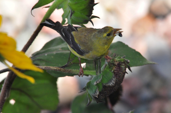 The tanager finally posed for me!!!
