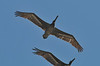 Brown Pelicans (I think)