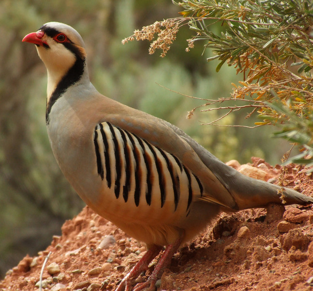 Chukar, Onion Creek
