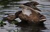 Duck Aerobics