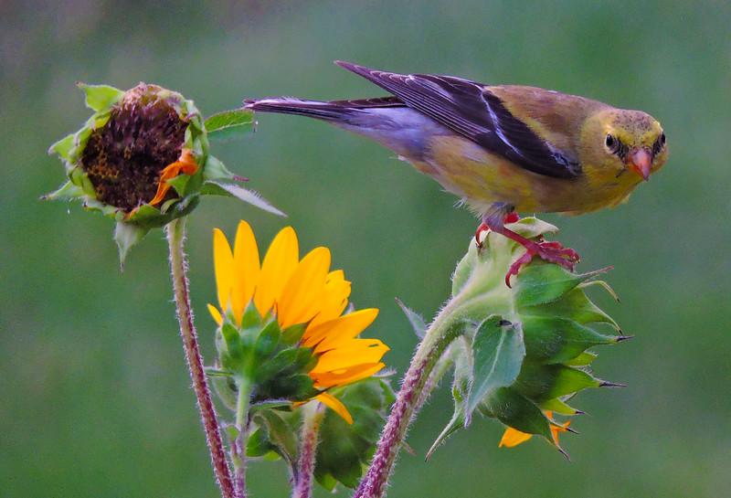 goldfinch goldrush