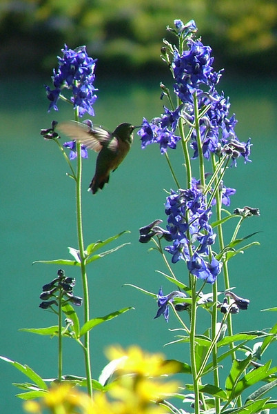 Probably a Broad-Tailed Hummingbird Enjoying Larkspur Nectar<br /> Blue Lakes, Mount Sneffels Wilderness