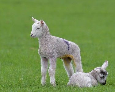 Lambs on the Downs 2