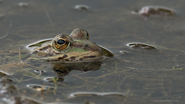 Frog at  Greenham Common 18th August 2019 2