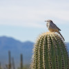 Curved-bill thrasher on a saguaro cactus