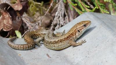 Common Lizard Basking