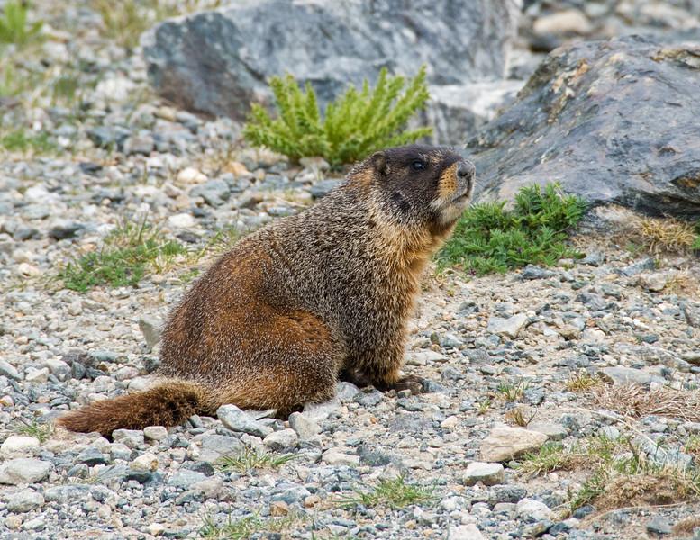 Marmot near Breckenridge, Colorado