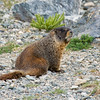 Marmot near Breckenridge, Colorado