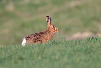 Bunny Hare at Old Burghclere
