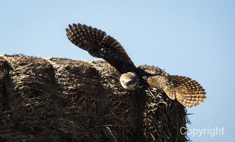 Burrowing Owl in Flight 2