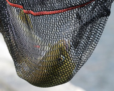 Fish out of Water - Trout in Landing Net