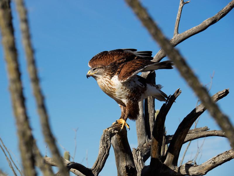 Harris's hawk (III)