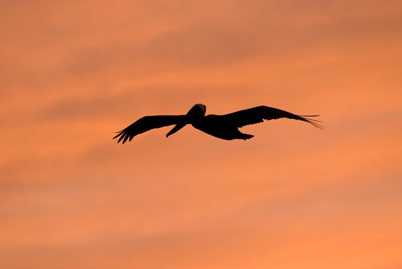 Sunset Pelican