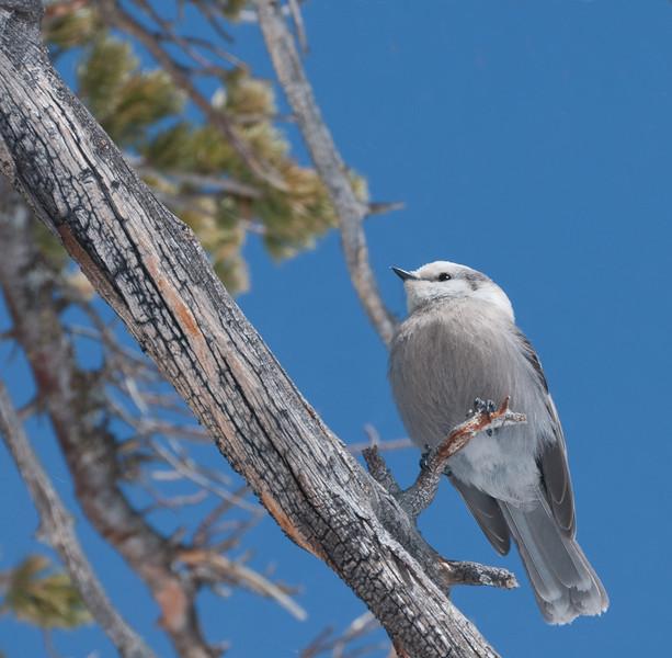 Gray jay, Rocky Mountain National Park, Colorado