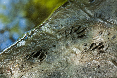 Raccoon Prints