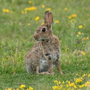 Wild Bunny Rabbit 2 - Greenham Common - 17th June 2018