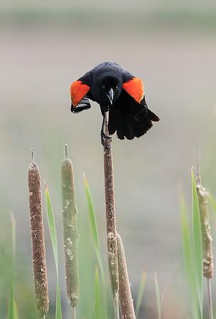 Upset Red Wing Blackbird