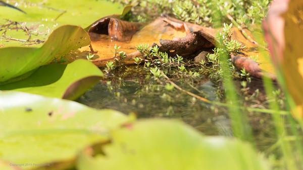 Grass Snake hidden in Greenham Common Pond
