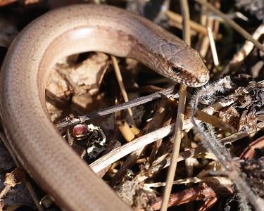 Slow worm at Greenham