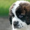 Saint Bernard - Puppy