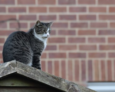 Cat on Shed Roof observing Blackbird