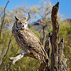 Great horned owl (III)