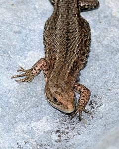 Comon Lizard at Decoy Heath Facing