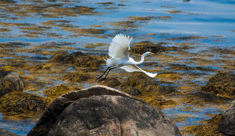 Egret (Stonington, Conn.)