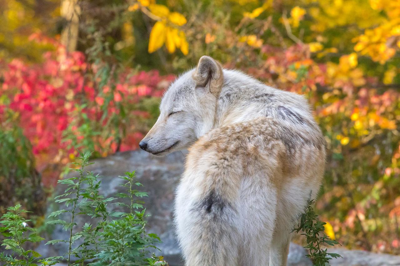 Serene Grey Wolf