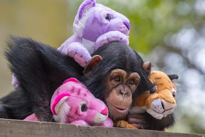 Chimp & Friends